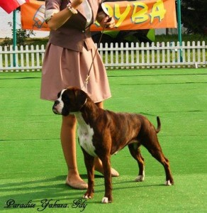Boxer Club of Poland Show excellent - 1 in Young Class; judge: Fabrizio Censi (I)
